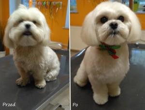 fryzurka dla maltańczyka psi fryzjer Wrocław Salonik Psia Minka