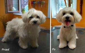 Wrocław strzyżenie psów maltańczyk fryzura