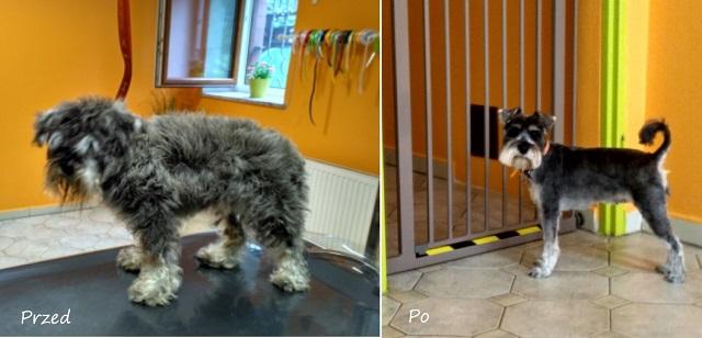 czeszemy psa przed i po
