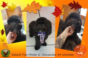 groomer Wrocław psi fryzjer Wroclaw strzyżenie psów Wrocław Salonik Psia Minka