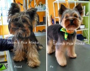 groomer Wrocław strzyżenie psów fryzurka dla szczeniaka york